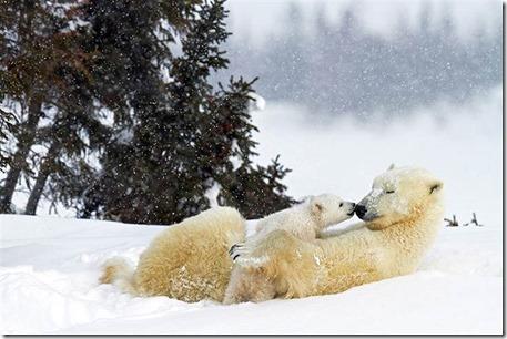2D11516052-today-polar-bear-02.blocks_desktop_large